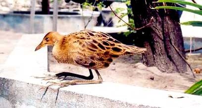 Watercock Only known breeding visitor to Maldives - Needs protection